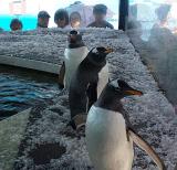 企鵝展演全國巡展低價出租租賃南極帝王企鵝展覽出租報價