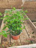 基地大量种植供应好的盆栽
