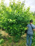 成都臘梅基地郫都區名川園藝場供應優質臘梅