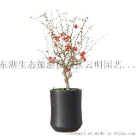 武汉果树基地直销各类型的桃樱花桃树