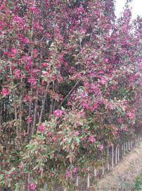 北美海棠 ,绿化苗木 盆景