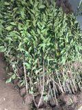 好景园林常年出售各种规格法青.法国冬青,珊瑚树树苗