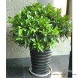 供應非洲茉莉 東莞綠植護理 米蘭     鴨腳木