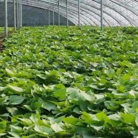高產紅薯苗-脫毒紅薯苗-高澱粉紅薯苗供應