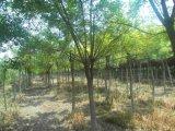 苗圃常年供应米径2-20公分优质国槐