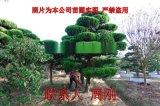造型龍柏種植基地 造型景觀樹苗批發 蘇州園林綠化