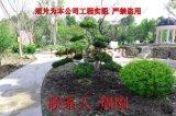 造型黃楊樹 小葉黃楊樹 瓜子黃楊樹 造型黃楊樁盆景