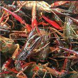 山东潍坊 小龙虾市场供应