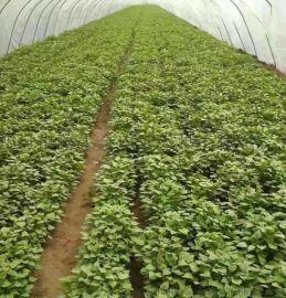 紅薯苗供應-高澱粉紅薯苗品質優良-量大從優