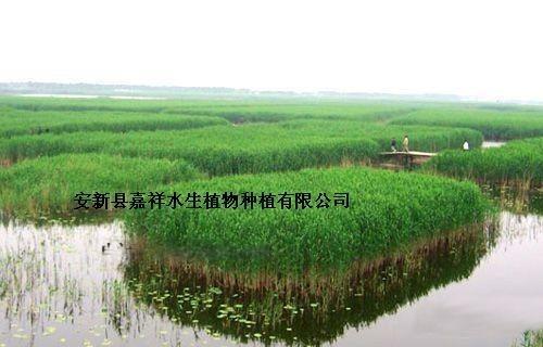 哪里有芦苇苗,湿地芦苇苗,白洋淀芦苇苗批发
