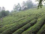 韶關白毛茶 禮品綠茶出名炒青綠茶 粵北半山沿綠茶