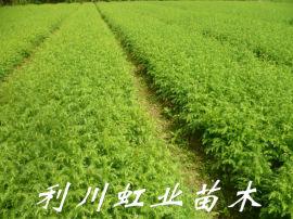 柳杉/柳杉杯苗綠化苗造林苗
