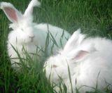 長毛兔養殖