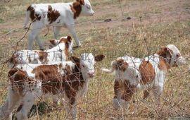 牛犊快速育肥方法当然优农康 养殖户的福音