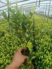 山东基地大量出售**绿化苗木-绿化苗木种植哪里好