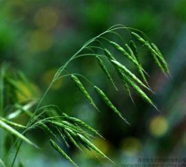 燕麦草植物提取物