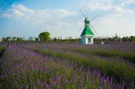 紫色成海花卉苗床薰衣草主题庄园