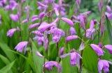 中药材白芨种子哪里有卖?紫花三叉白芨种苗