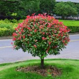 四季紅葉石楠球火焰紅庭院紅羅賓籬笆高杆工程綠化  大紅色常青