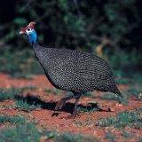 喜地六谷珍珠雞 散養珍珠雞 原生態新鮮現殺珍珠雞