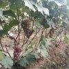 哪里有葡萄苗 葡萄苗有什么品种 葡萄苗种植