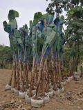 四川高2米5芭蕉盆栽农户自家,芭蕉树苗新鲜现挖