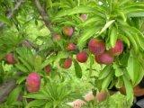 江西17公分紫葉李樹苗木基地樹苗批發