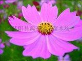 波斯菊種子