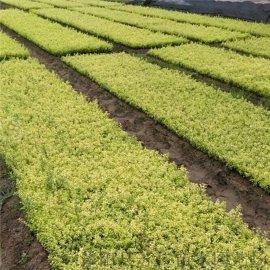 小区绿化苗品种金叶女贞价格