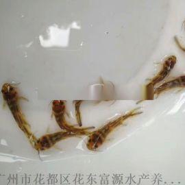 广东茂名黄辣丁鱼苗养殖基地黄骨鱼苗黄颡鱼苗出售