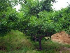 供应用于园林绿化的出售3-10公分保定山桃 山桃苗木 保定山桃小苗