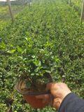 基地大量种植优质盆栽花卉茉莉-茉莉种植基地