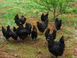 卓农禽业教您如何选择优质鸡苗