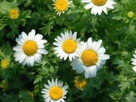 小白菊植物提取物