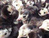 琼海市火鸡种苗,万宁市火鸡种苗,儋州市火鸡种苗