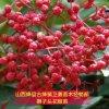 大红袍花椒苗批发 提供1-2-3年生花椒苗种植技术