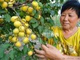 烟台荷兰香杏树苗 自花结果荷兰香蜜杏苗批发