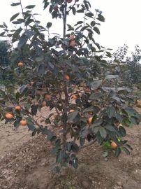10公分柿子树-8公分柿子树