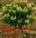 全新脱毒组培(北花一代)金银花 种苗