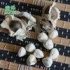 印度辣木籽和非洲辣木籽哪个好,辣木籽品种