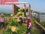 广西三红蜜柚苗,有品质的三红蜜柚果苗出售
