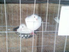 鸽笼 -1