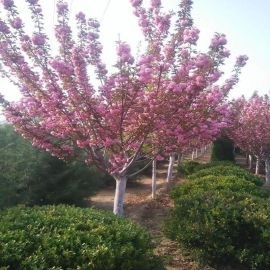 庭院园林绿化工程苗 樱花树苗 日本樱花嫁接苗地栽大苗植物圃直销