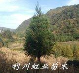 利川山区直销米径5-8公分柳杉树苗