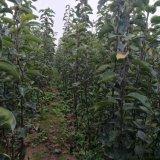 2017年红梨树苗批发价格