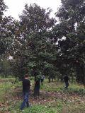 成都广玉兰基地15-25公分温江广玉兰直销低价格树型好1.5-3米分枝