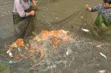 北京草魚,鯉魚,鯽魚