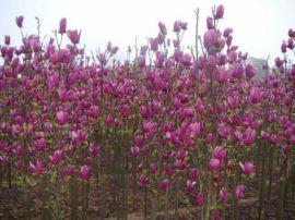 安徽肥西出售广玉兰小苗|乌桕小苗|三角枫小苗|腊梅小苗|红梅小苗