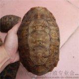 陆龟 缅甸陆龟 陆龟宠物龟 陆龟