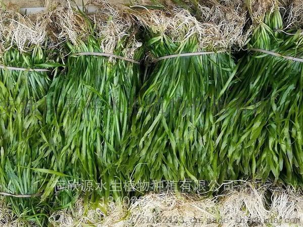 耐寒苦草种苗批发 优质苦草苗 承接苦草种植111125512